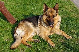 Top 5 Other Breeds I Love...: Dogs Training, German Shepards,  German Police Dogs, Adoption A Dogs, Dogs Breeds, Google Search,  German Shepherd Dogs, Dogs Photos, Work Dogs