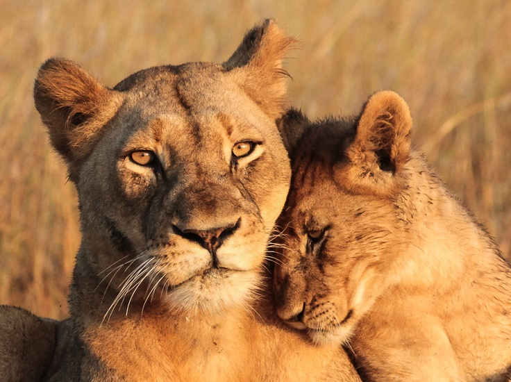 Lioness and Cub. If there was ever an animal picture that could represent the bond between Sheryl and David, for me it's this one.