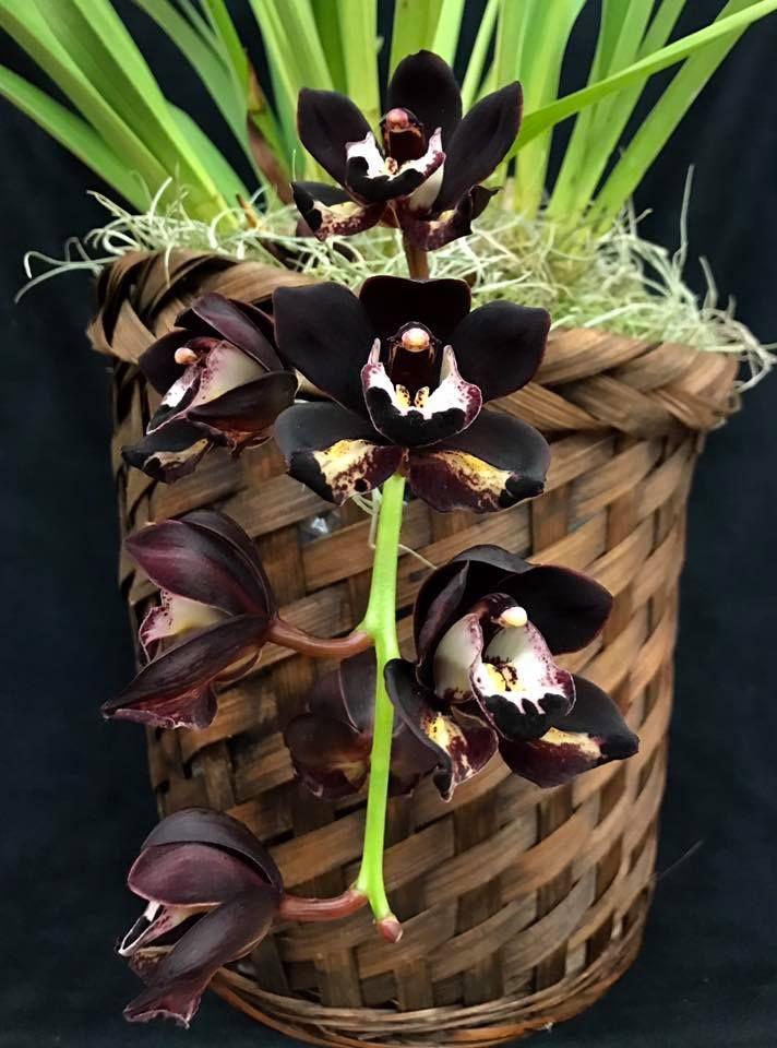 Cymbidium Kiwi Midnight 'Geyserland'