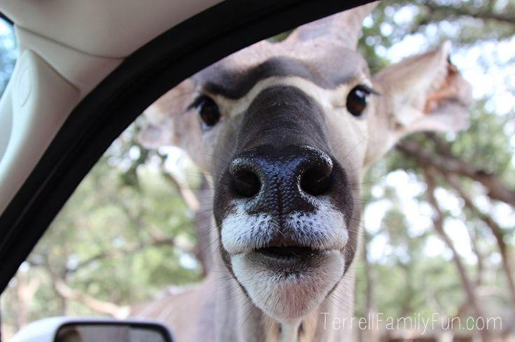 Drive thru safari in new braunfels Texas...The kids always love this!!