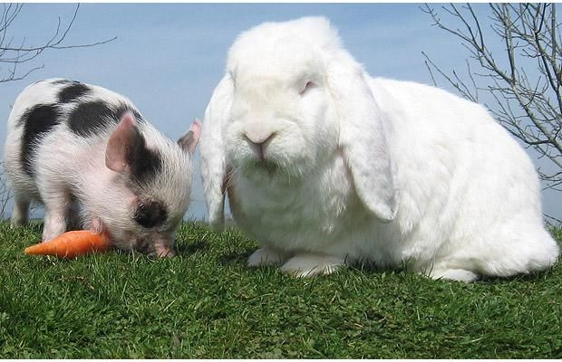 William the miniature pig and his best friend Charles the giant rabbit, at Pennywell Farm in Devon, England. Bosses at the farm say the friendship developed after ten-week old William was moved into a pen next to the rabbits