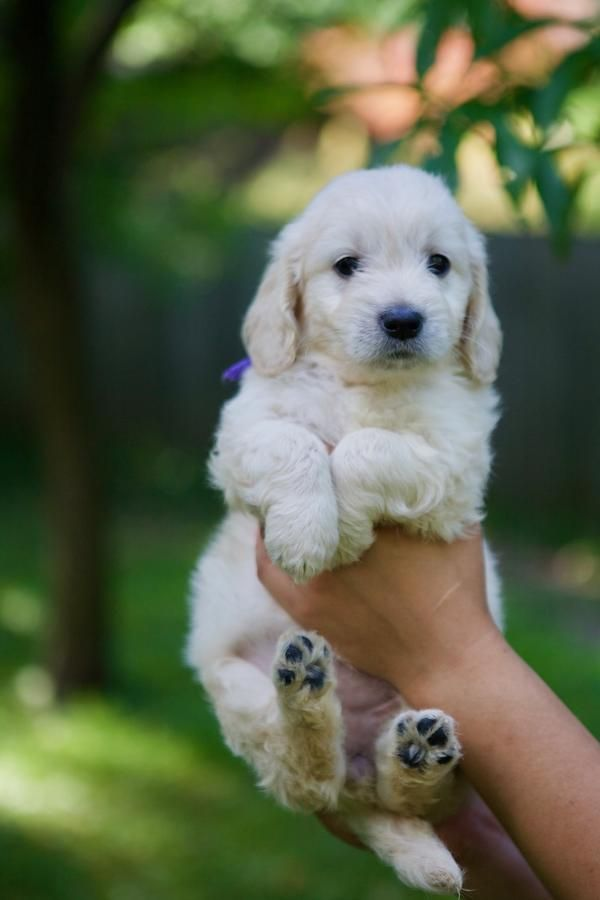 Sold Champion Bloodline Mini English Cream Teddy Bear Golden Doodle In Plainwell Michigan Hoobly Classifieds Goldendoodle Cream Teddy Bear Retriever Puppy