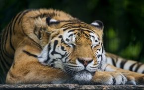 cat, sleeps, dream, Amur tiger