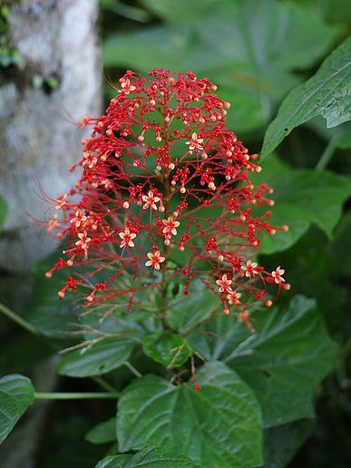 Název: Blahokeř latnatý  Latin. název: Clerodendrum paniculatum Čeleď: hluchavkovité Latin. čeleď: Lamiaceae