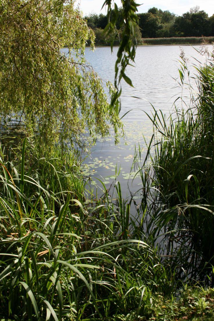 Waterlily leaves on Duddingston Loch from Dr Neil's Garden, Edinburgh.