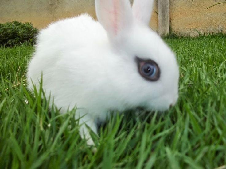 Quando se fala em Coelhos, logo se imagina o tradicional coelhinho da páscoa; branco, de olhos vermelhos, orelhas em pé, pelo c...