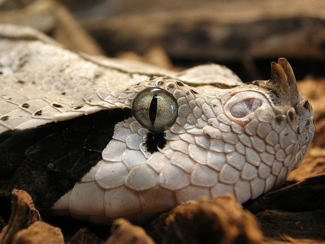 Gaboon Viper, deadly and beautiful