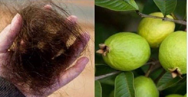 Queda de cabelo, feridas, bronquite, emagrecimento, colesterol... - Descubra todos os poderes da folha de goiaba!   Cura pela Natureza