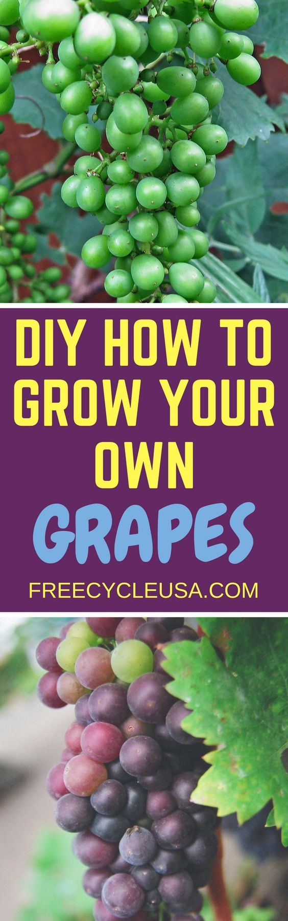 best 25 how to grow grapes ideas on pinterest