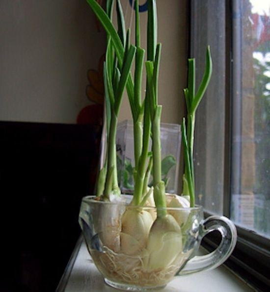 Você pode cultivar brotos de alho (que são comestíveis!) a partir de um dente de alho. | 13 vegetais que magicamente brotam sozinhos