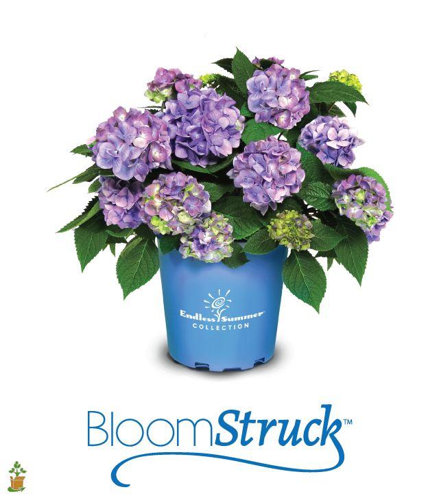 BloomStruck Hydrangea. theplantingtree.com