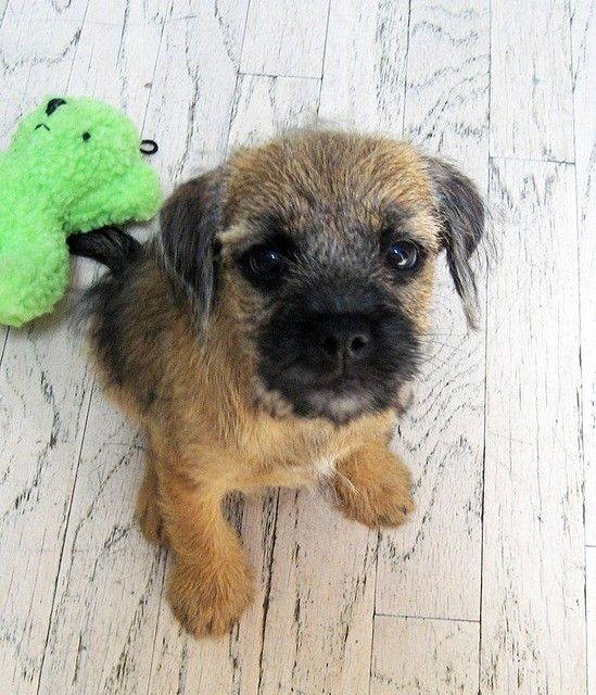 Border Terrier.. see the poor little me..just a small pat and a kind word please......look? Nope they never grow out of it!