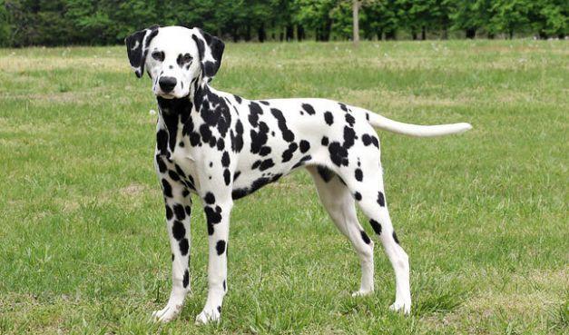 Rase de câini care nu miros urât