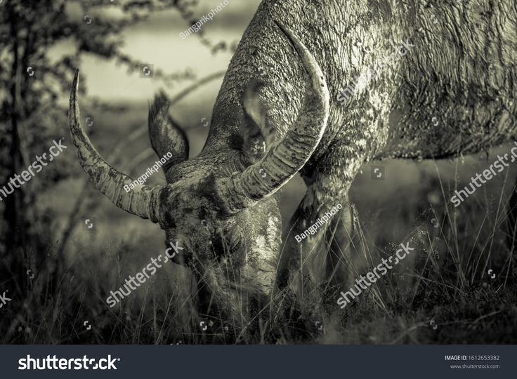 A close up view of a buffalo who are eating grass on the