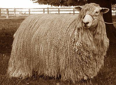 Leicester Longwool, from Lavender fleece farms
