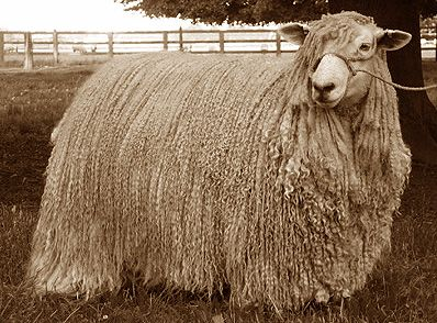 Leicester Longwool, from Lavender fleece farms