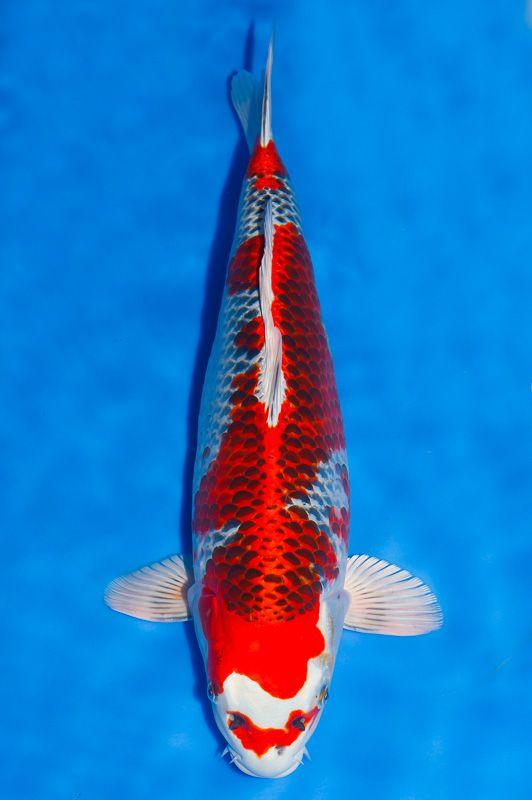 Les 55 meilleures images du tableau kujaku sur pinterest for Achat poisson rouge japonais