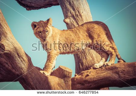 Young lion cub playing up on tree branches