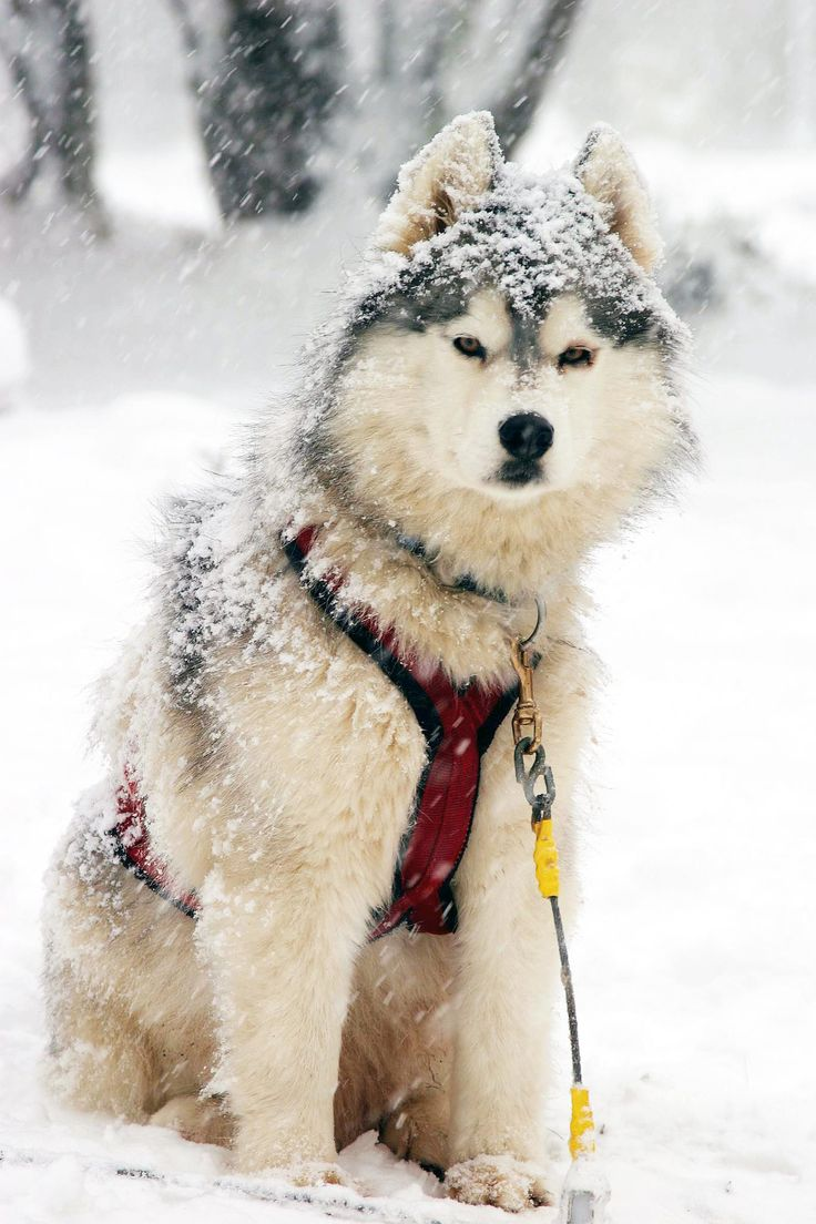 309 best alaskan malamutes images on pinterest siberian huskies
