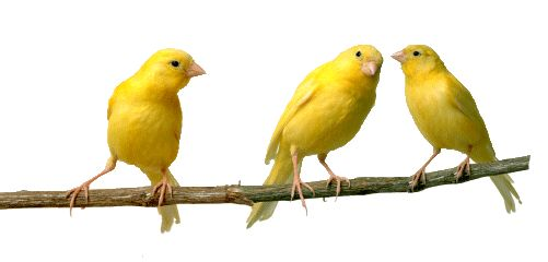 Birds | Pet Bird Breed Information | Canary, Cockatiel, Parrot and Macaw info | adflyer