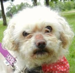 Collin is an adoptable Poodle Dog in Salem, OR.
