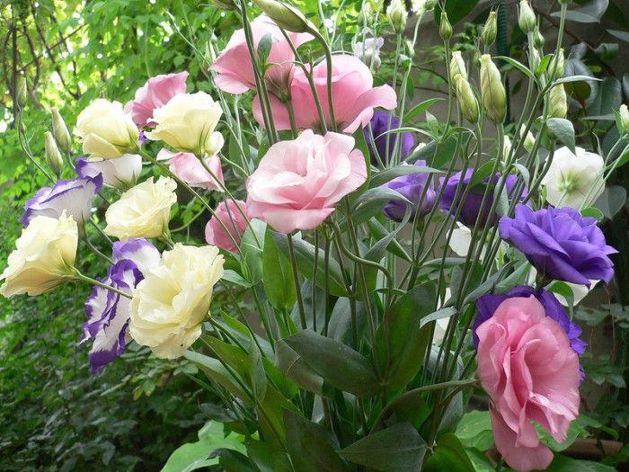Цветущие лизиантусы или эустома. Галерея фото