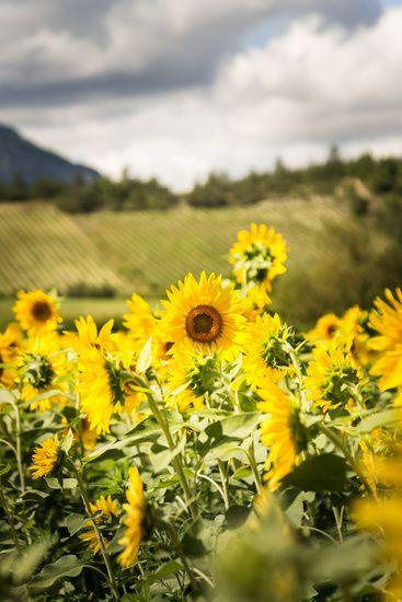 Nieuw in mijn Werk aan de Muur shop: Veld met zonnebloemen op een warme dag in Frankrijk.