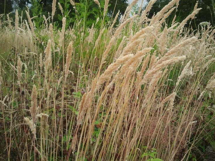 1000 Images About Wild Grasses On Pinterest