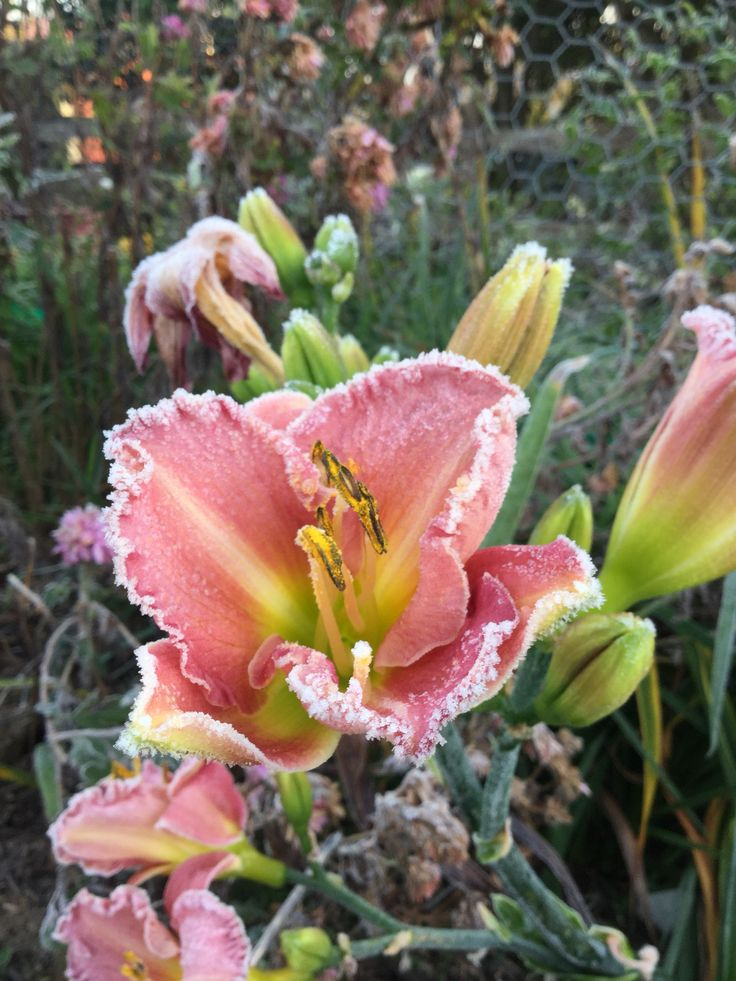 Day lily covered in frost