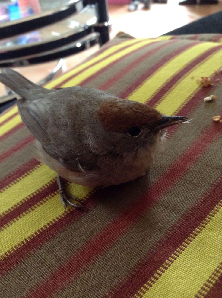 Petit oiseau qui foncer sur ma vitre avec la t te qui for Petit oiseau avec houpette