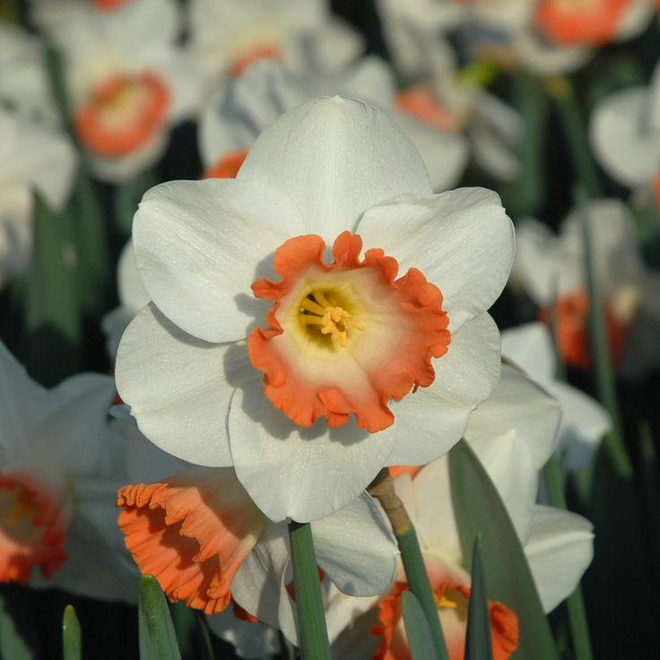 Narzisse 'Pink Charm' - wunderbar zartes Apricot macht diese Blüte einzigartig schön - online bestellbar bei www.fluwel.de