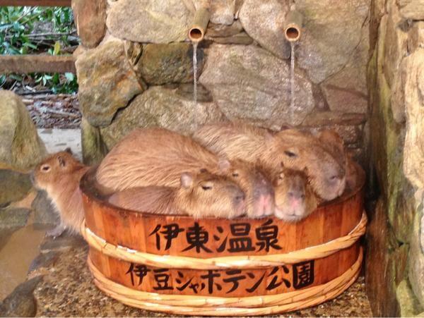 Capybara ❤ hot spring❣      (via ngsbiopark)   http://www.biopark.co.jp/en/