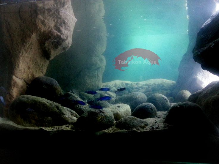 balık,  aquarium, biotope, tank, fish, malavi, akvaryum, biyotope, dizayn, yosun, demasoni, malawi lake, tabalkon, aqua, 3d, background, Aquascaping