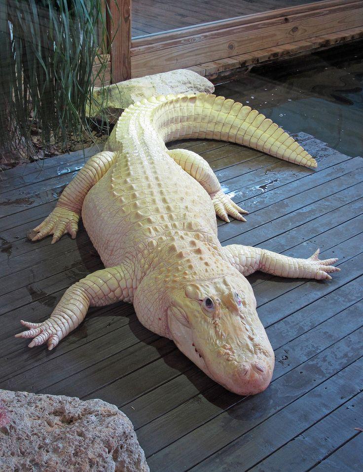 ˚Albino Alligator - Florida