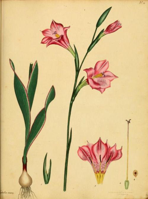 50 best flowers drawing of gladioli images on pinterest for Botanical tattoo london