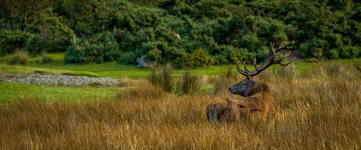 A stag in isle of Arran Scotland.