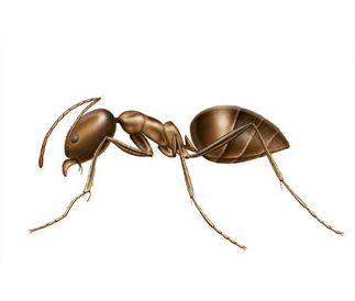 Ant Species of Australia   Rentokil Pest Control