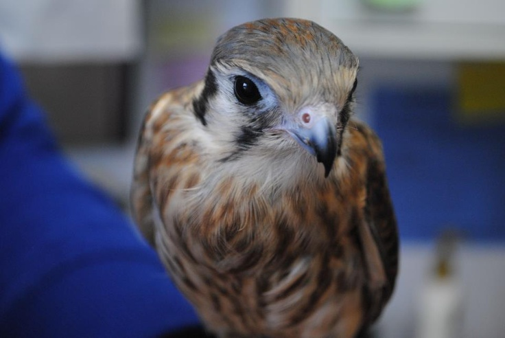 "Meet ""kess"". He is an American Kestrel and is being trained for our education program. Though still waiting for an official name, he has already secured a place in the hearts of many of our volunteers."