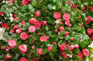 Timely pruning can revitalize camellias.