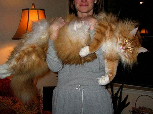 Large Domestic Cat Breeds Pictures Wow Com Image