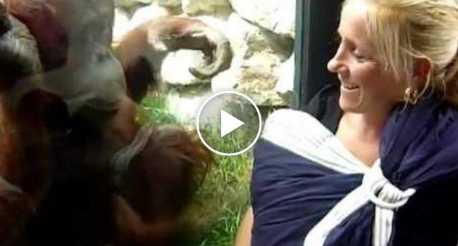 Orangotango Curioso Esforça-se Para Ver Bebê No Colo Da Mãe Pelo Vidro Da Jaula