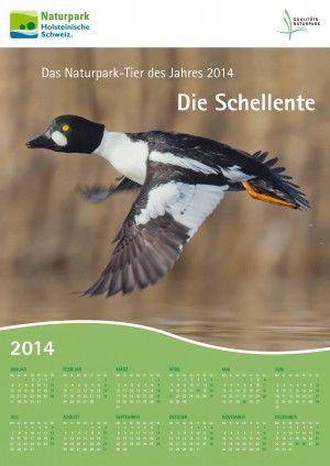 2014: Die Schellente ist Naturpark-Tier des Jahres im Naturpark Holsteinische Schweiz