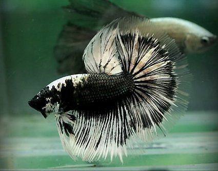 1000 images about bettas on pinterest salamanders for Black and white betta fish