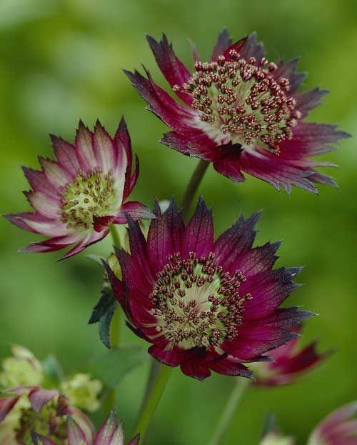 Astrantia major 'Gill Richardson Group', June-August, 60 cm Website Plants-for-shade