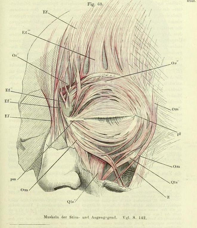 16 besten Forhead Bilder auf Pinterest | Anatomie, Blutgefäße und ...