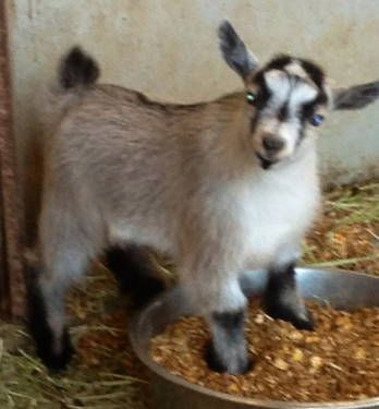 pygmy goats for sale | African Pygmy goat Carmel male NPGA for Sale in Norco, California ...