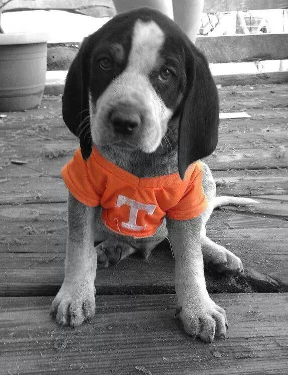 Adorable!! Tennessee Vols... And his name shall be Tennessee Jack (TJ)