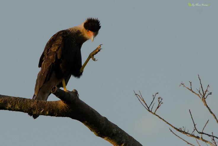 Caracaras - also known as carcará / bird connection distant hawk.