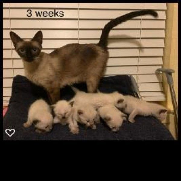 Siamese Cat For Adoption In Plano Texas Mercedes In Plano Texas Cat Adoption Cats Siamese Cats
