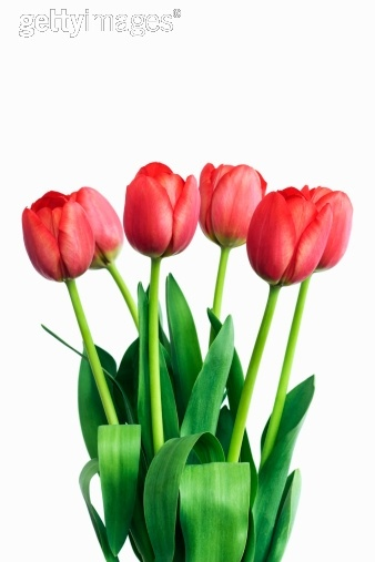 Royalty-free Image: Red tulips against white background close up